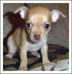 A Healthy Chihuahua Puppy
