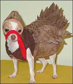 chihuahua-thanksgiving.jpg