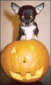 scary chihuahua