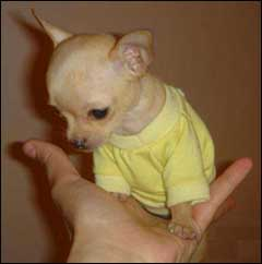 teacup size chihuahua fits in the palm of your hand