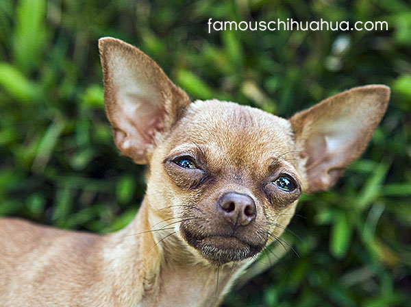 the chihuahua, with its apple-dome skull and large luminous eyes, can wear a remarkably human expression at times