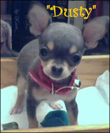 dusty-famous-chihuahua.jpg