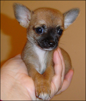 dictionary definition of teacup chihuahua: chihuahua breed history