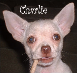 famous-chihuahua-charlie.jpg