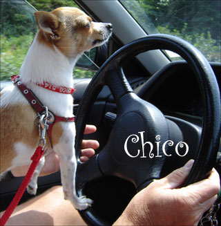 famous-chihuahua-chico.jpg