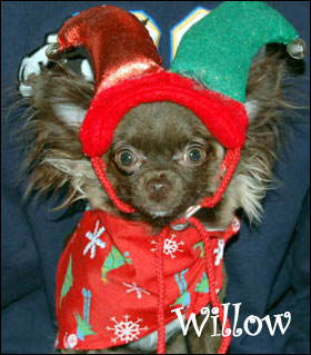 famous-chihuahua-willow.jpg