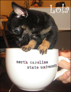 lola the teacup chi baby!