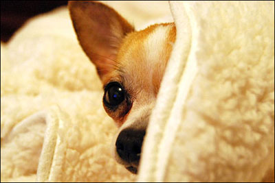 pino the rescued chihuahua (picture source: pamperedpuppy.com)