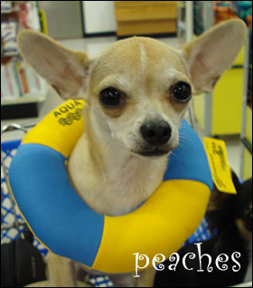 peaches the chihuahua