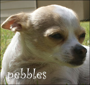 pebbles the chihuahua