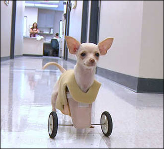 josie the chihuahua fashions prosthetic wheels