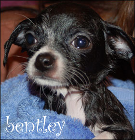 bentley the chihuahua