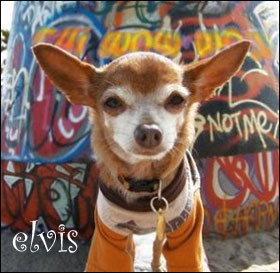 elvis the chihuahua
