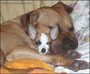 chiquita the chihuahua snuggles with her big bad boyfriend for naptime!