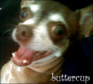 buttercup the chihuahua!