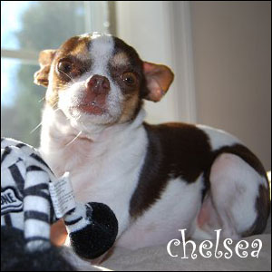 chelsea the chihuahua