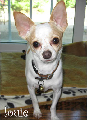 louie the lovable chihuahua! our famous chihuahua of the day!