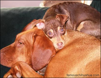 baylee the chihuahua takes a nap on top of his gal pal daisy, a rhodisian ridgeback