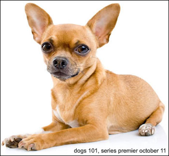 chihuahuas to be featured on animal planet's 'dogs 101' this saturday october 11, 2008