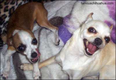 chiquita and omar - chihuahuas in love