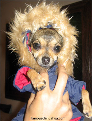 lily the chihuahua in her new winter jacket