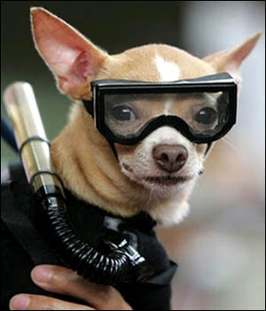 the incredible scuba diving chihuahua!