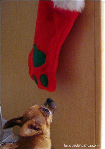 teacup chihuahua eyeballs paw stocking