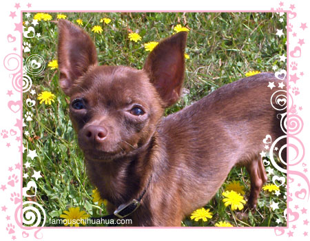 chihuahua pcci papers for sale Our listings contain chihuahua for sale all over the for sale female chihuahua chihuahua for sale 2months old vaccine and pcci papers female 8k teacup.
