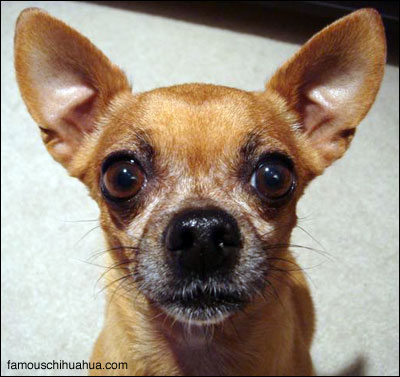 learn how to read the nutrition label on your chihuahua's food!