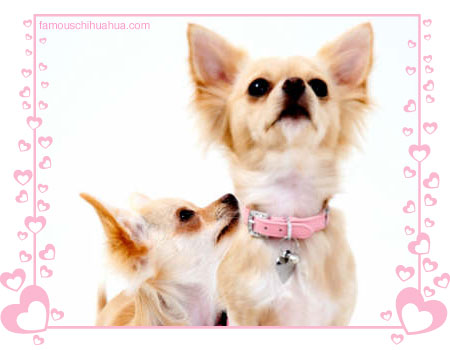 chihuahua clothing models bella and ruby
