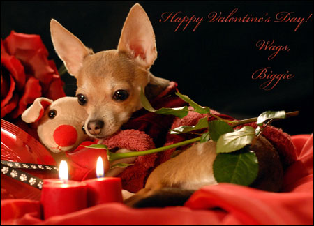biggie the romantic chihuahua