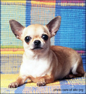 adult apple head chihuahua