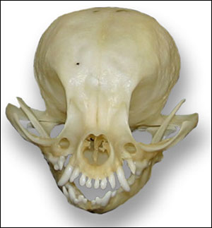 close up of a chihuahua skull
