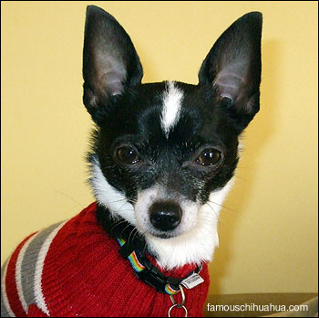 hector the chihuahua proudly shows off his new sweater