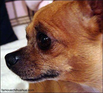 apple head chihuahua side profile