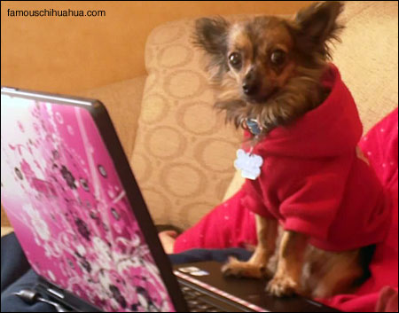 timmy the chihuahua on his laptop