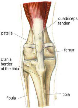 diagram of the anatomy of a normal knee cap