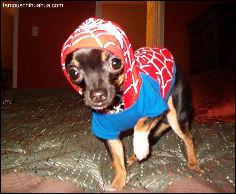 Jackson The Superhero Chihuahua As Spiderman Famous