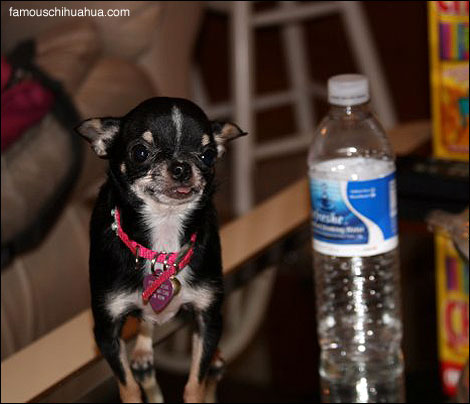 princess, the smallest teacup chihuahua in the world?