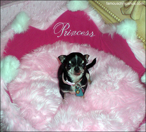 Spoiled Girly chihuahua
