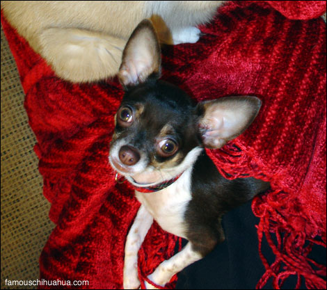 puddy-the-chihuahua