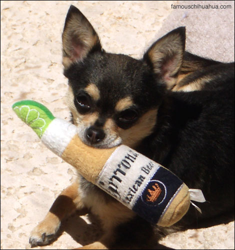 merlot, the chihuahua who loves to serve up coronas