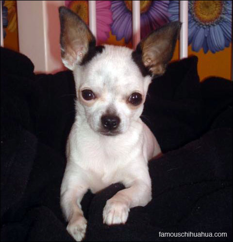 little charlie, the tiny chihuahua with a big attitude