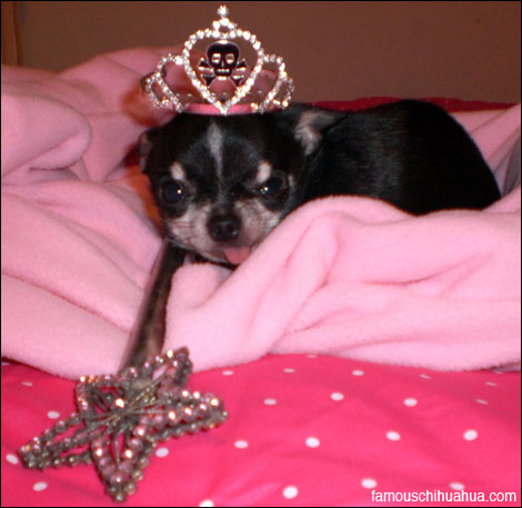 i'm princess the teacup chihuahua! people are visiting my page the most because i'm super tiny