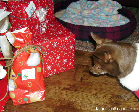 lucy the chihuahua eyes up her christmas gift