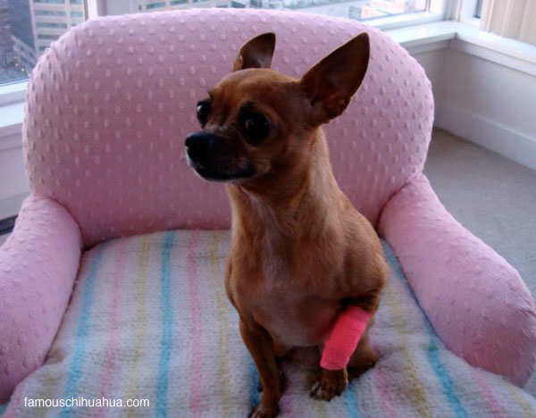 oh no, teaka the famous chihuahua has a boo boo!