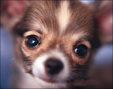 Cutepuppies Wallpaper on Download Free Cute Chihuahua Desktop Wallpapers    Famous Chihuahua