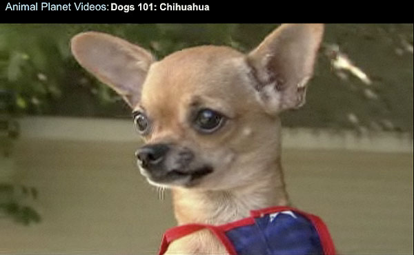 click to watch video! learn more about applehead and deerhead chihuahuas!