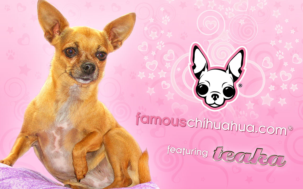 download free famous chihuahua wallpaper  famous chihuahua