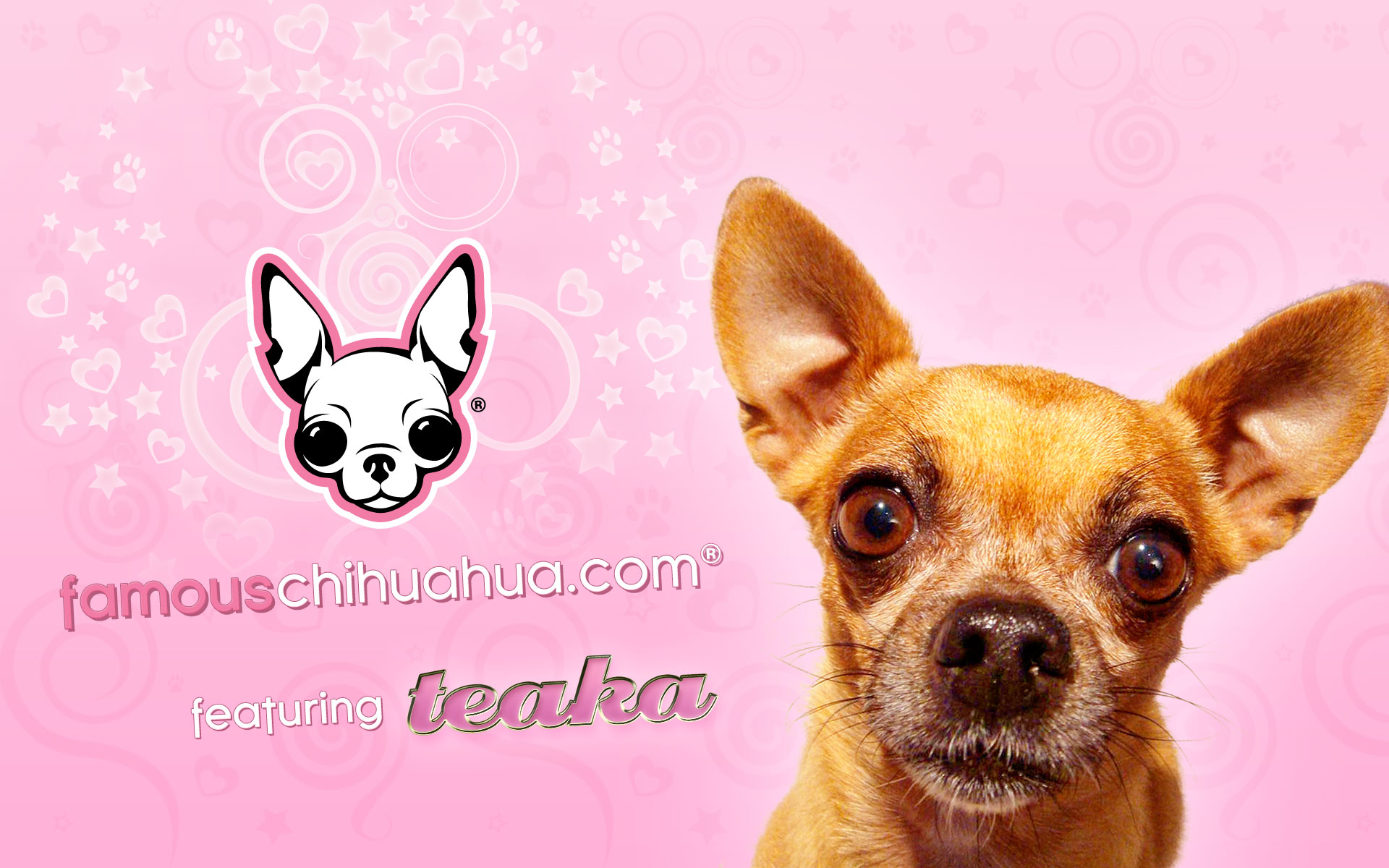chihuahua wallpaper
